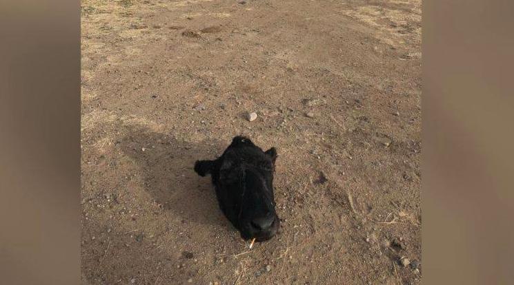 Cow Poaching Galen