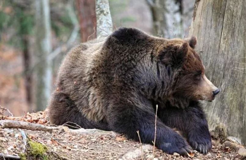 Grizzly Bear (File photo from MT FWP)