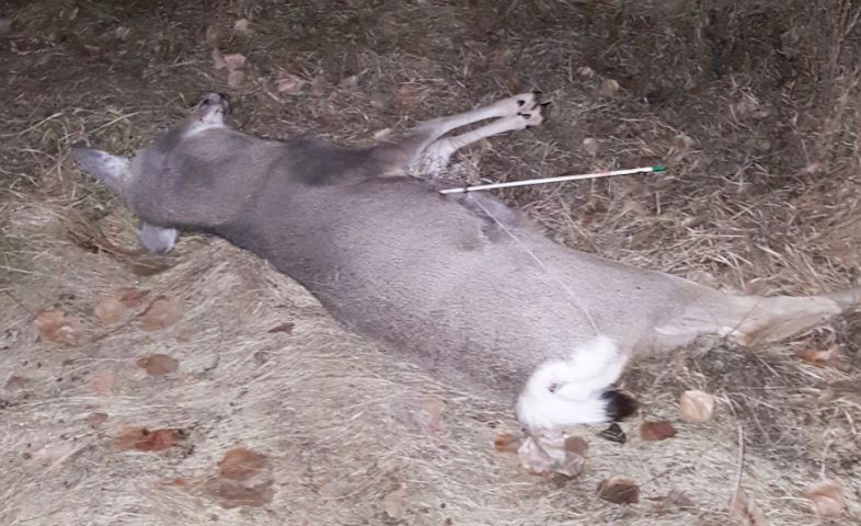 Deer illegally shot with a fishing arrow (FWP photo)